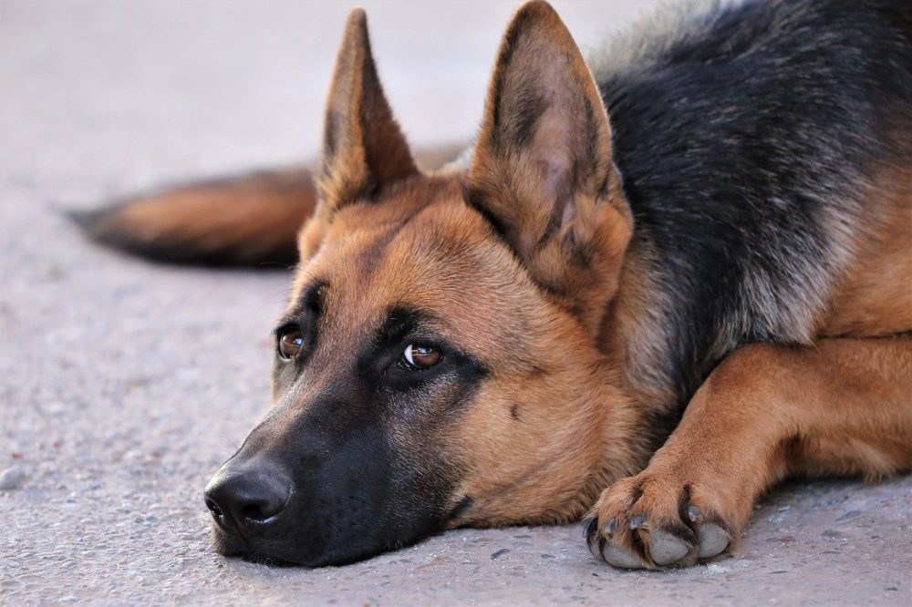 """Featured image for """"How to Deal with German Shepherd Shedding? (Other Than Vacuuming)"""""""