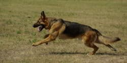 How to Extend Your German Shepherd Life Span? [5 Tips You Must Know]