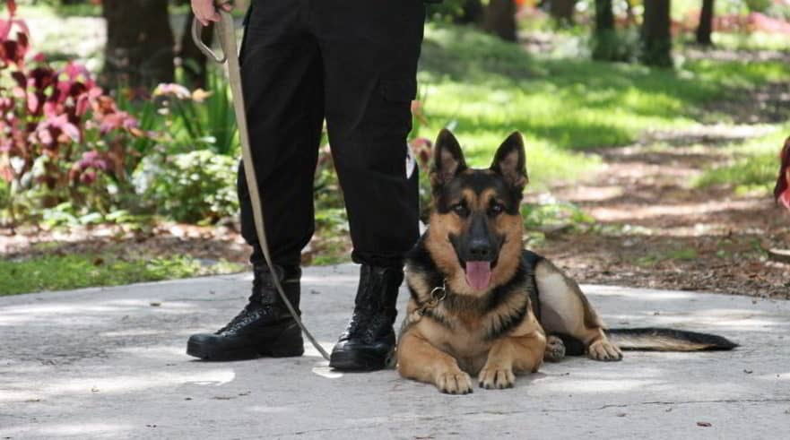 german-shepherd-police-dog-and-handler
