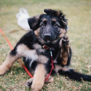german shepherd training dog