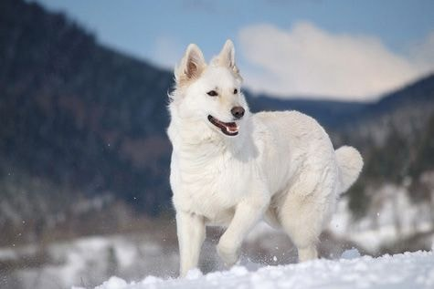 The White German Shepherd: 10 Facts You Didn't Know