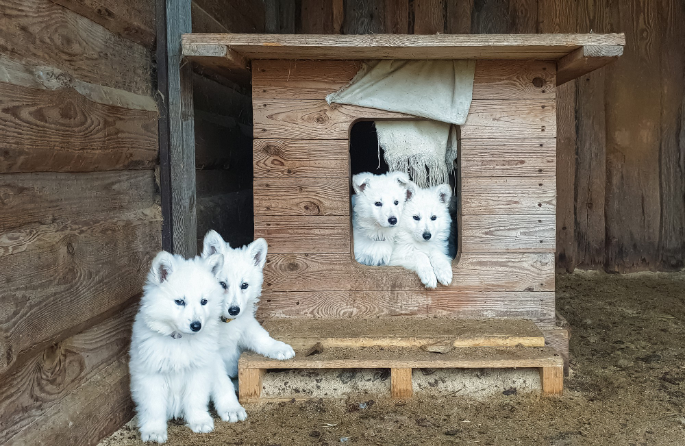 """Featured image for """"How Much Does A White German Shepherd Cost?"""""""