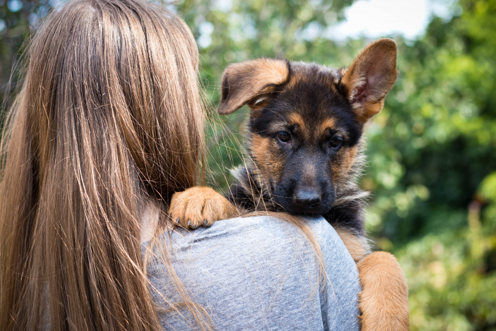 """Featured image for """"Are German Shepherds Good for First-Time Owners?"""""""