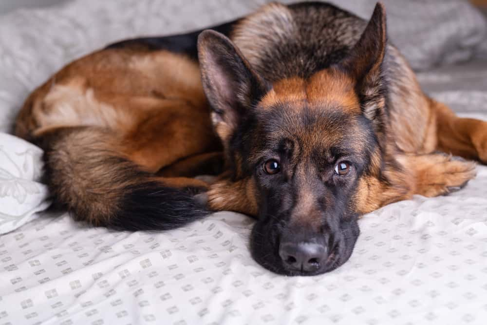 How to Prepare Your German Shepherd Dog for Going Back to Work?