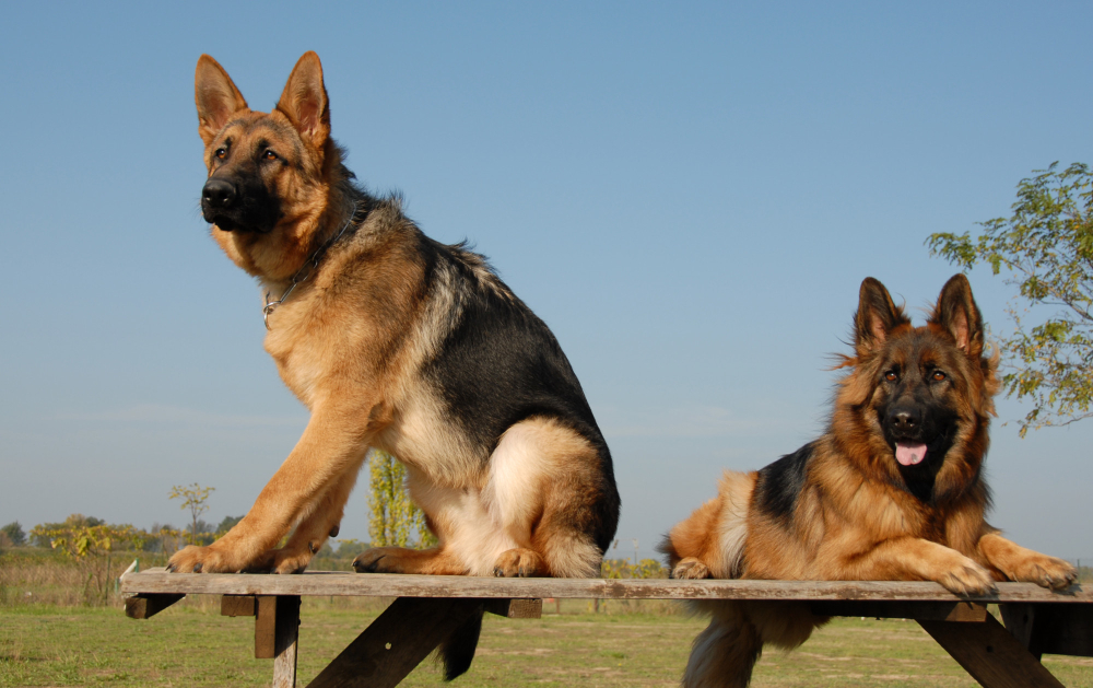 Is It Better to Have Two German Shepherds?