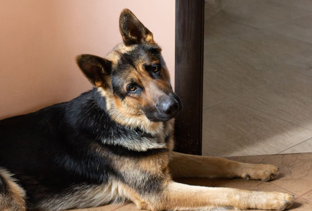"""Featured image for """"Why Are German Shepherds So Stubborn? And What to Do About It?"""""""